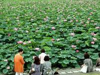 滋賀県琵琶湖畔のハス