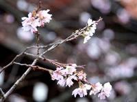 平野神社寒桜