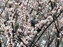 京都桜二条城20100312