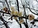京都桜2010 府立植物園