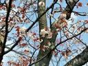 京都桜2010円山公園