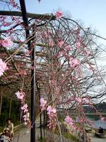 京都桜2010賀茂川