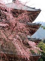 京都桜2010醍醐寺