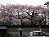 京都桜2010有栖川宮旧邸