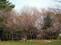 京都桜2010八幡市さくら近隣公園