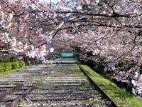 京都桜2010蹴上インクライン