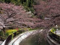 京都桜2010山科疏水