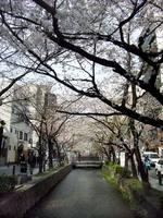 京都桜2010木屋町