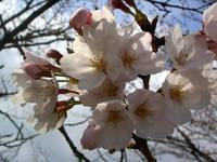 京都桜2010うぐいす児童公園