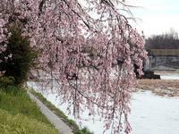 京都桜2010鴨川堤