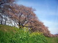 京都桜2010背割公園