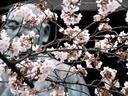 京都桜2010墨染寺