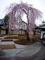 京都桜2010高台寺