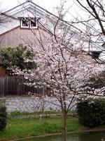 京都桜2010伏見