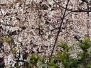 京都桜2010長建寺
