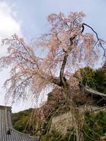 京都桜2010知恩院