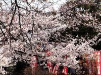 京都桜2010宇治川
