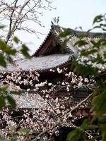 京都桜2010平等院