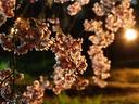 京都桜2010府立植物園
