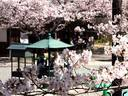 京都桜2010光明寺