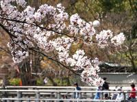 京都桜2010長岡天神
