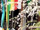 京都桜2010大山崎