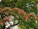 京都北野天満宮の紅葉