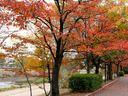 京都鴨川の紅葉