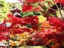 京都今熊野観音寺の紅葉