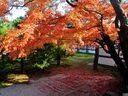 京都仁和寺の紅葉
