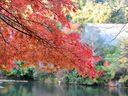 京都龍安寺の紅葉