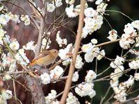 京都府立植物園梅林