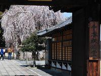 千本釈迦堂の桜
