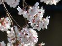 祇園花見小路の桜