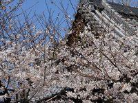 鳥羽離宮跡の桜