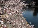 宇治川・中の島の桜