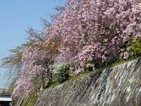 鴨川左岸の桜