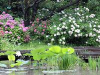 京都府立植物園のアジサイ