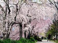 鴨川の桜満開