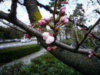 二条城前の桜