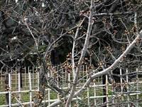 京都御苑・御車返桜