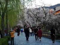 ヤナギと桜