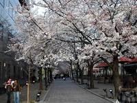 辰巳通りの桜