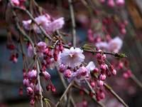 辰巳通りの八重桜
