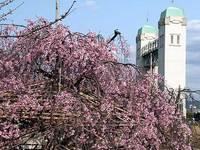 伏見港公園の桜
