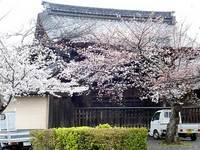天龍寺の枝垂桜