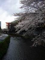 疏水べりの桜