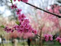 京都御所の桃