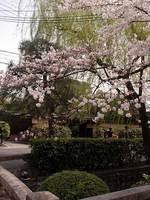 今日庵と桜