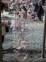 水火天満宮の枝垂桜
